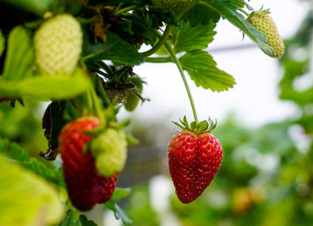 The Strawberry Forest