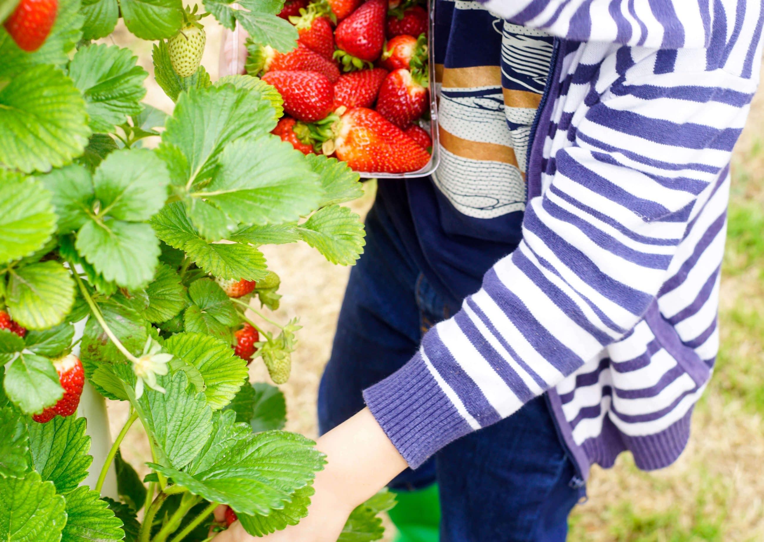 dedbfe3f7e0 The Strawberry Forest