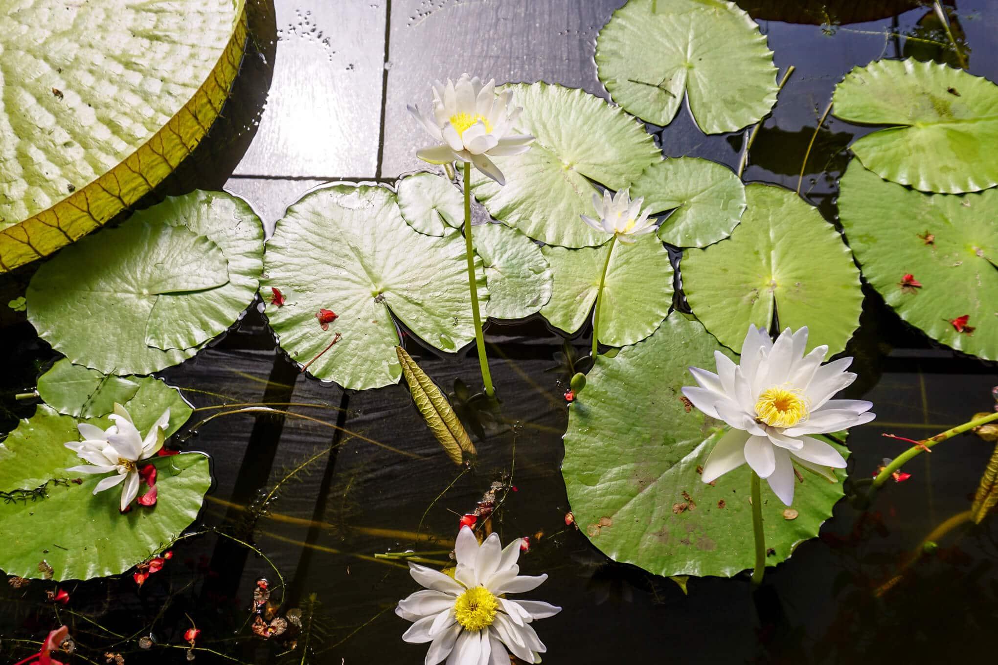 Blue Lotus Water Garden Yarra Junction Review Tot Hot Or Not