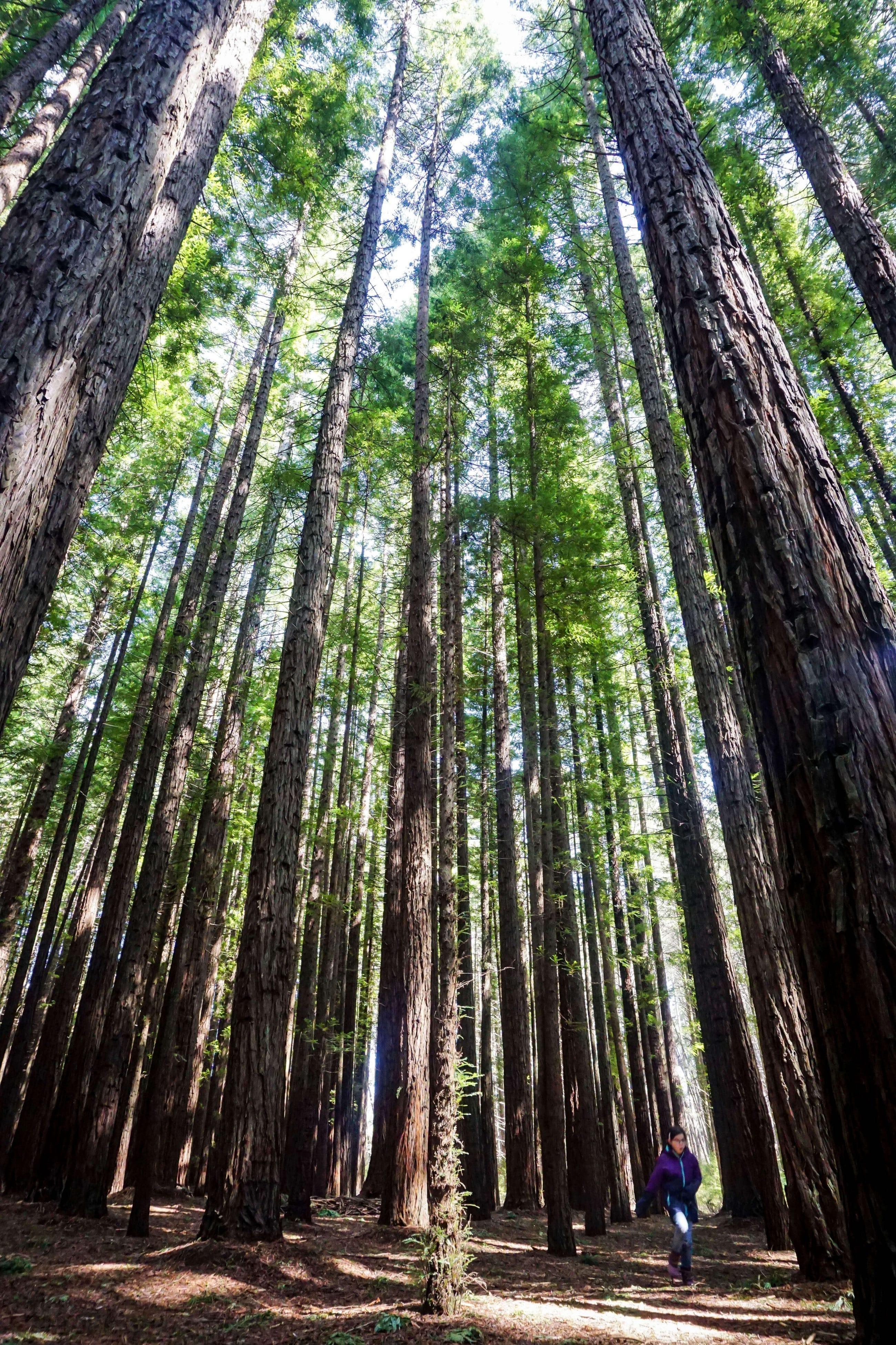 Monicea: Warburton Redwood Forest Melbourne